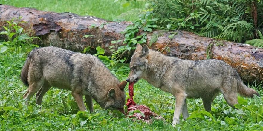 Zwei Wölfe am Riss.