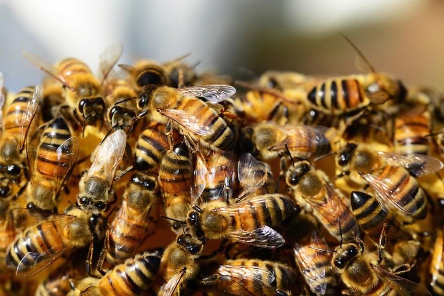 Ein Schwarm Honigbienen