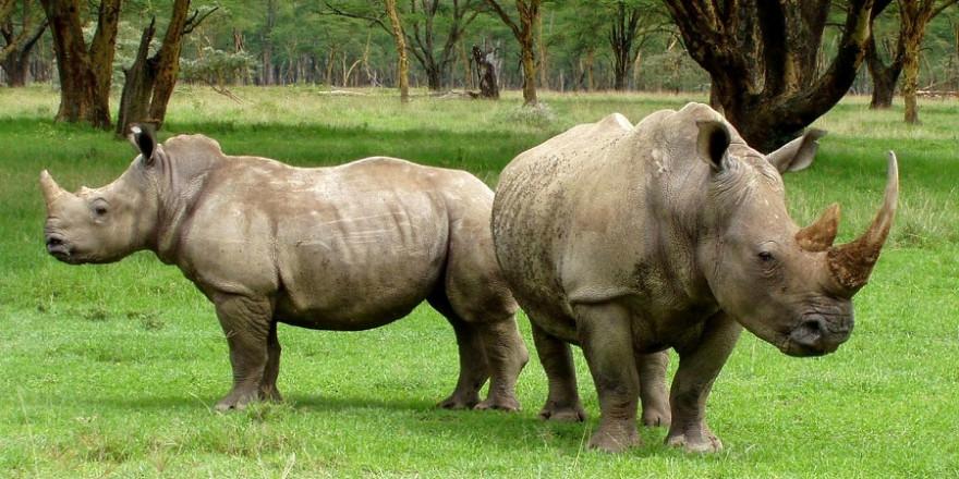 In Südafrika sind die mit Abstand größten Populationen an wildlebenden Breit- und Spitzmaulnashörnern beheimatet (Foto: David Mark)
