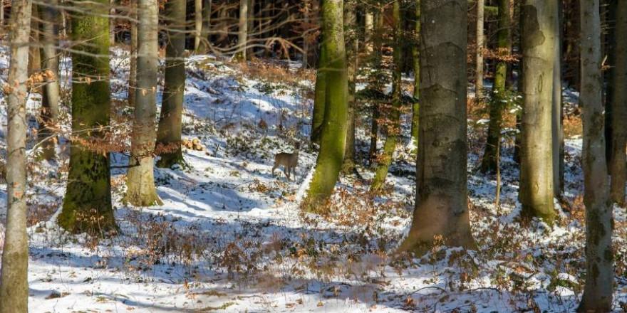 Reh im winterlichen Buchenwald (Beispielbild: 55983759)