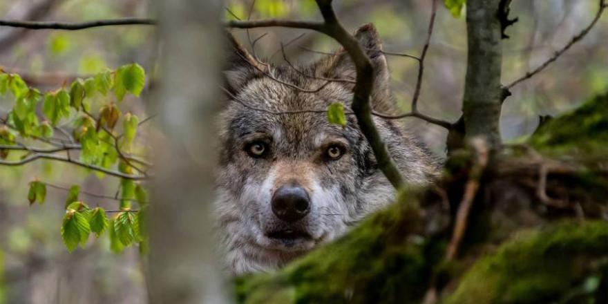 Einzelner Wolf im Wald (Beispielbild: Tomáš Seman)