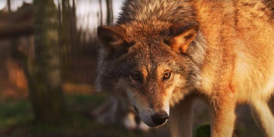 Ein Wolf (Symbolbild: Miriam Martínez)