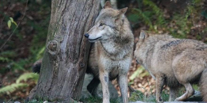 Durch die Gesetzesänderung haben die Bundesländer nun bessere Möglichkeiten, eigene Verordnungen für ein effektiveres Wolfsmanagement zu erlassen. (Foto: christels)