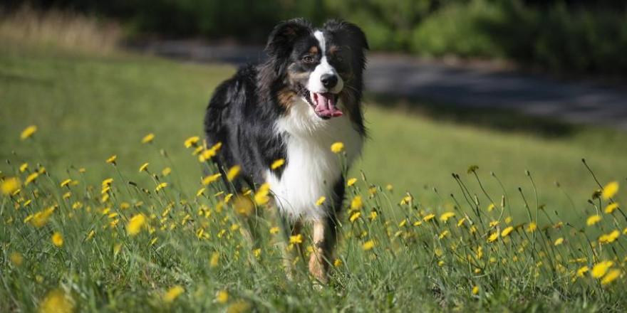 Als Kadaverspürhunde wurden in Rheinland-Pfalz beispielsweise auch Hunde der Rasse Australian Shephard ausgebildet (Beispielbild: Marx Scott)