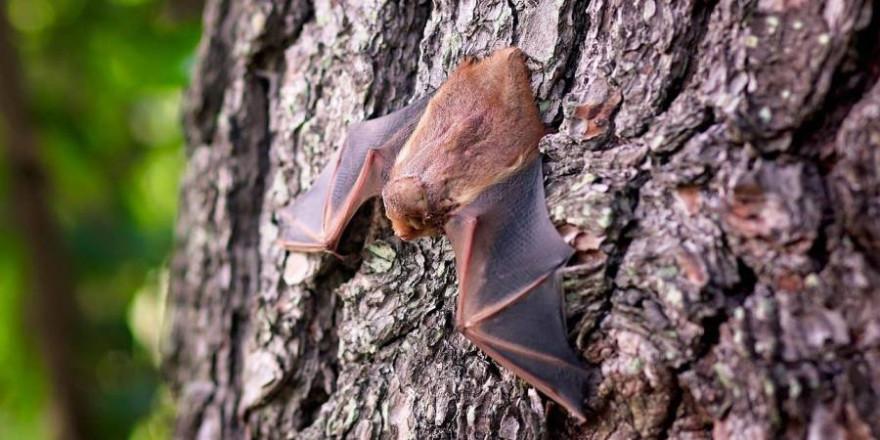 Fledermaus an einem Baumstamm hängend (Symbolbild: Cindy Parks)