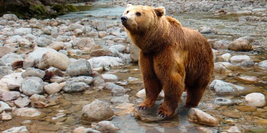 Ein Braunbär (Symbolbild: Gerhard G.)