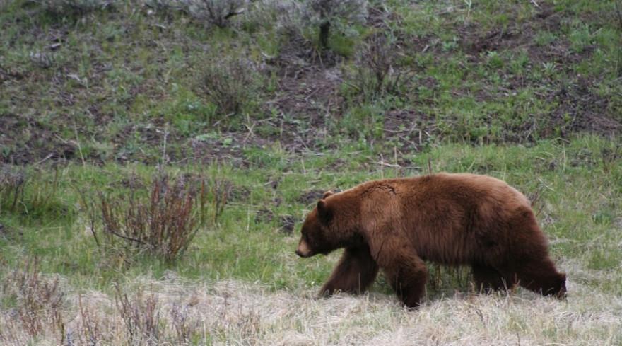 Ein Bär auf Streifzug.