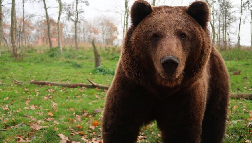 Ein neugieriger Bär.