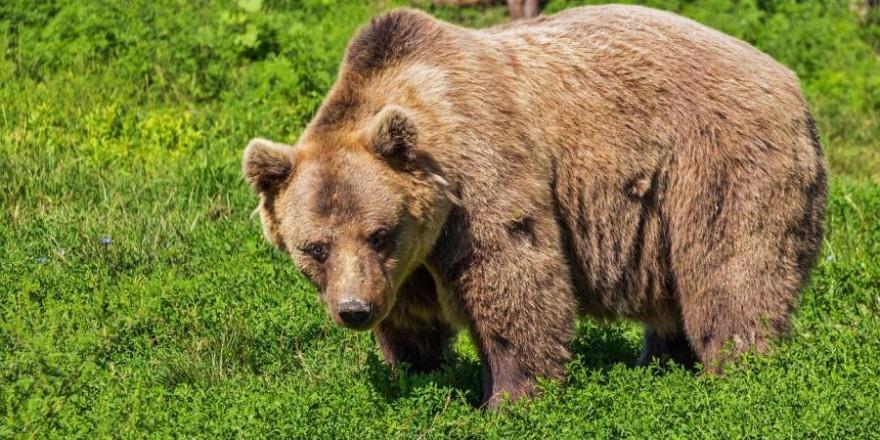 Ein Braunbär (Beispielbild: Robert Balog)