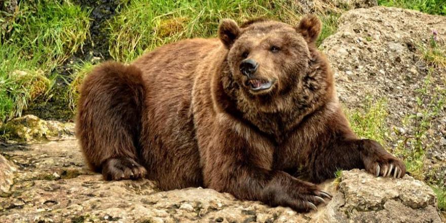 Ein liegender Braunbär (Symbolbild: Manfred Antranias Zimmer)