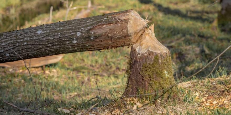 Ein von einem Biber umgelegter Baum (Symbolbild: Michael Schwarzenberger)