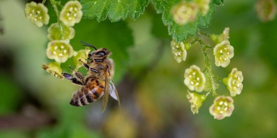 Eine Honigbiene an Blüten der Johannisbeere (Symbolbild: Myriams-Fotos)
