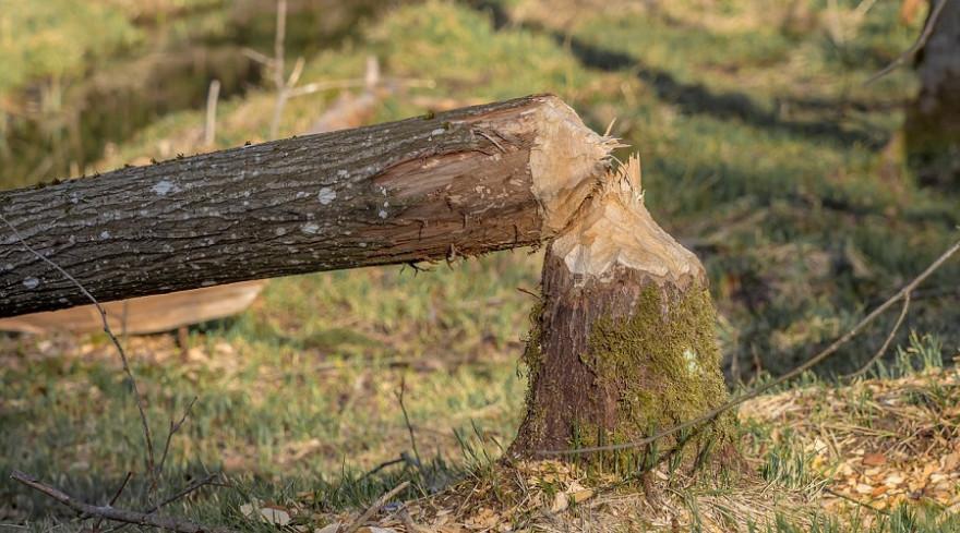 Von einem Biber gefällter Baum