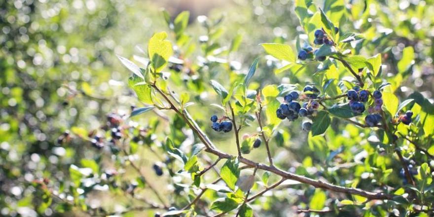 240 Pflanzenbündel der wilden Blaubeere hatten die Täter bereits zum Abtransport vorbereitet (Foto: Jill Wellington)