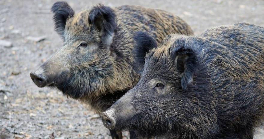 Zwei Wildschweine (Symbolbild: Andreas Lischka)