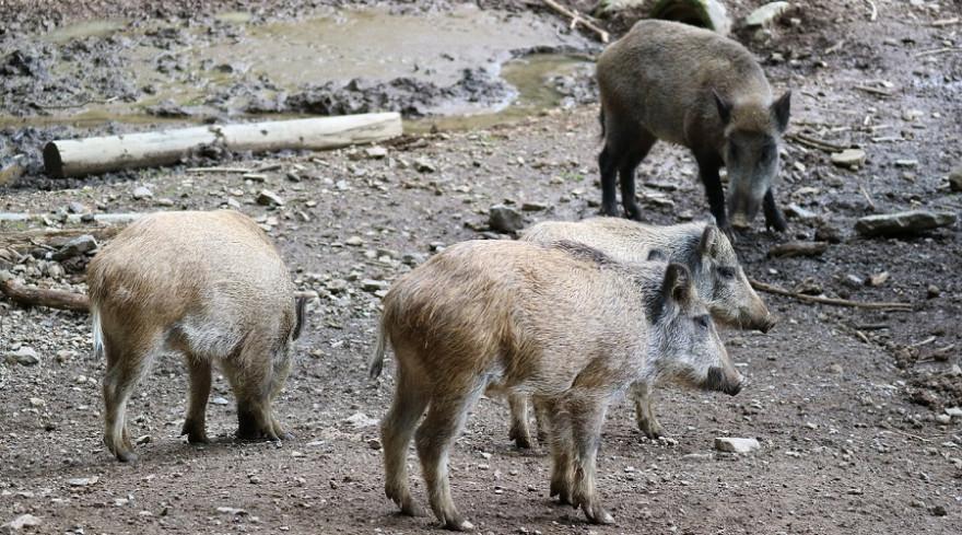 Wildschweine in Gehege