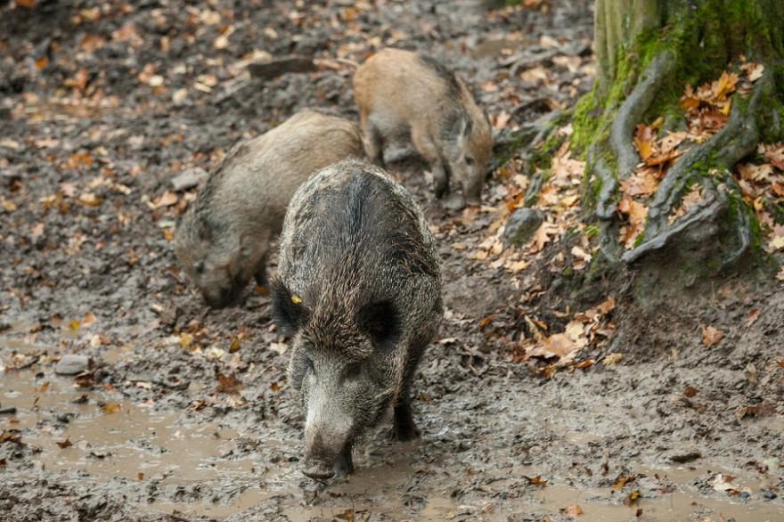 Wildschweine an Suhle