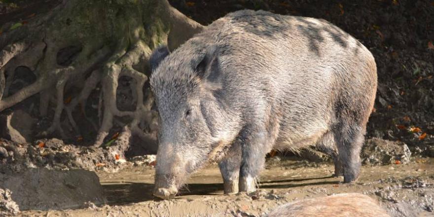 Wildschweine in einer Suhle (Symbolbild: Anne Kroiß)