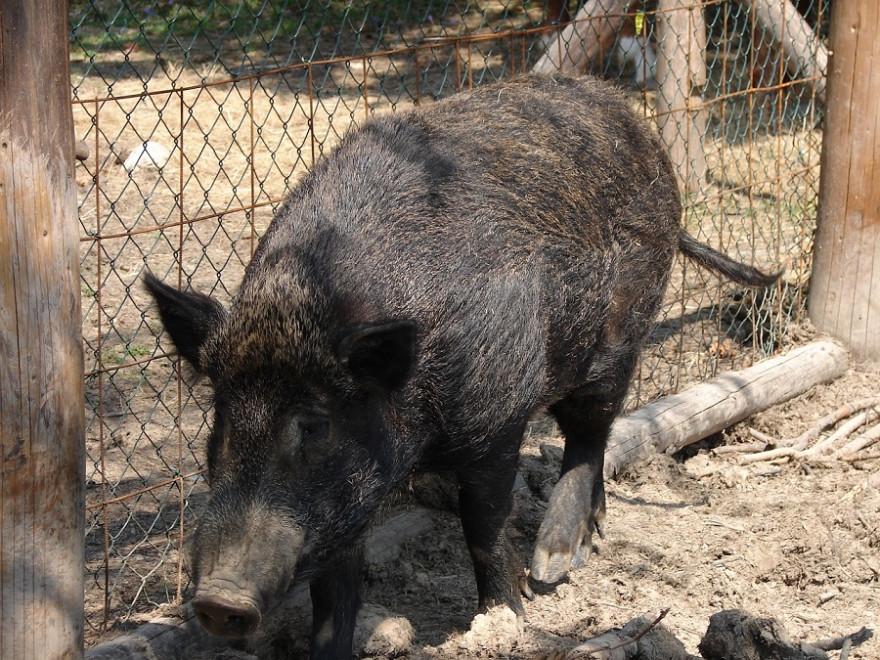 Wildschwein an Zaun