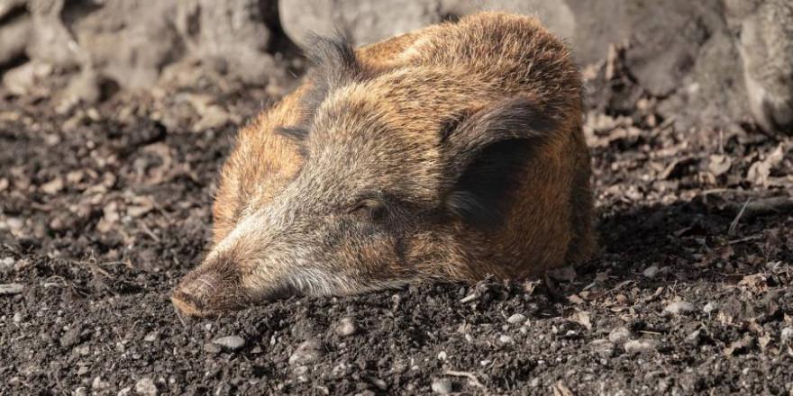 Wildschwein auf dem Boden liegend (Symbolbild: marcelkessler)