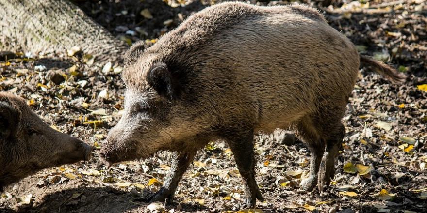 Wildschweine (Foto: tomkevicius)