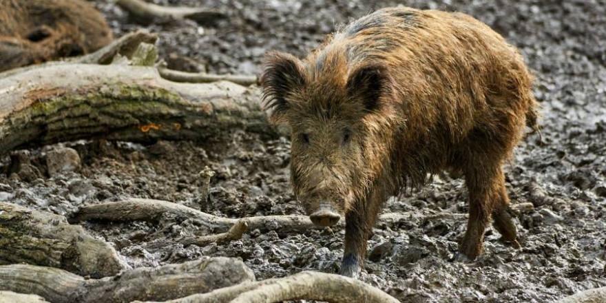 Ein Wildschwein (Beispielbild: NakNakNak)