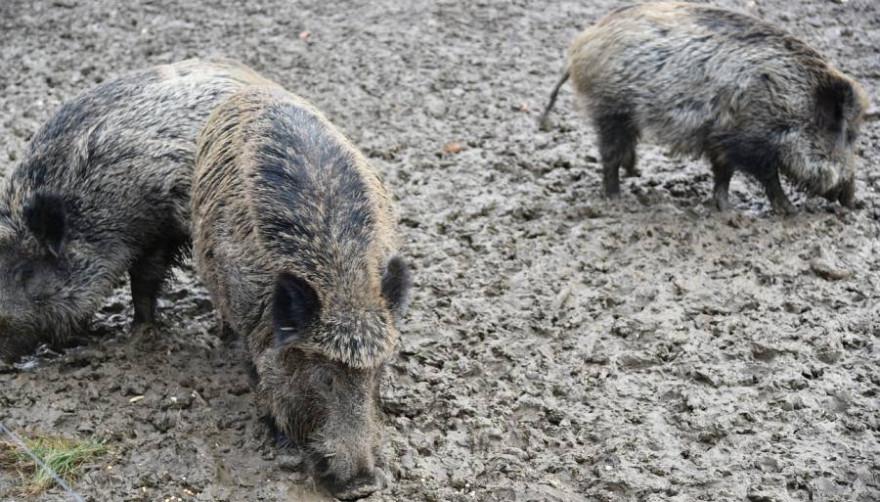Drei Wildschweine (Symbolbild: Frank P.)
