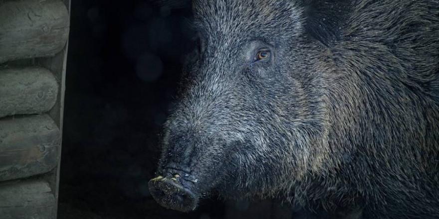 Ein Wildschwein (Symbolbild: Liselotte Brunner)