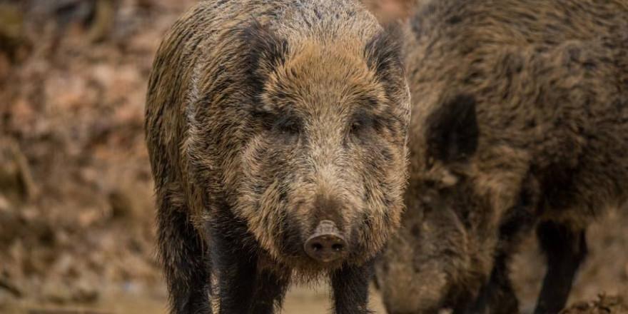 Zwei Wildschweine an einer Suhle (Beispielbild: keluan)