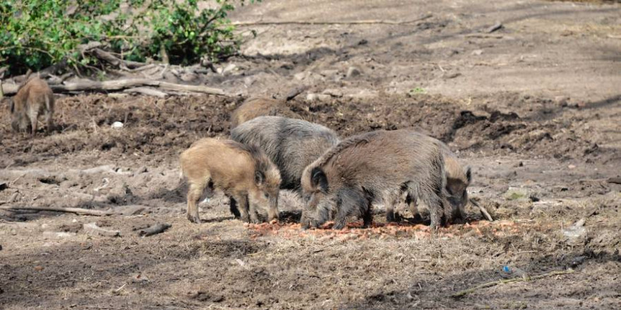 Eine Rotte Wildschweine (Symbolbild: Ph03nix_h)