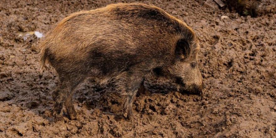 Ein Wildschwein (Symbolbild: code404)