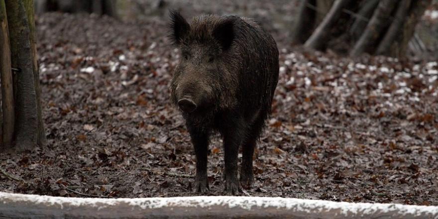 """Aus Sicherheitsgründen musste das Wildschwein im """"Kidronpark"""" geschossen werden."""