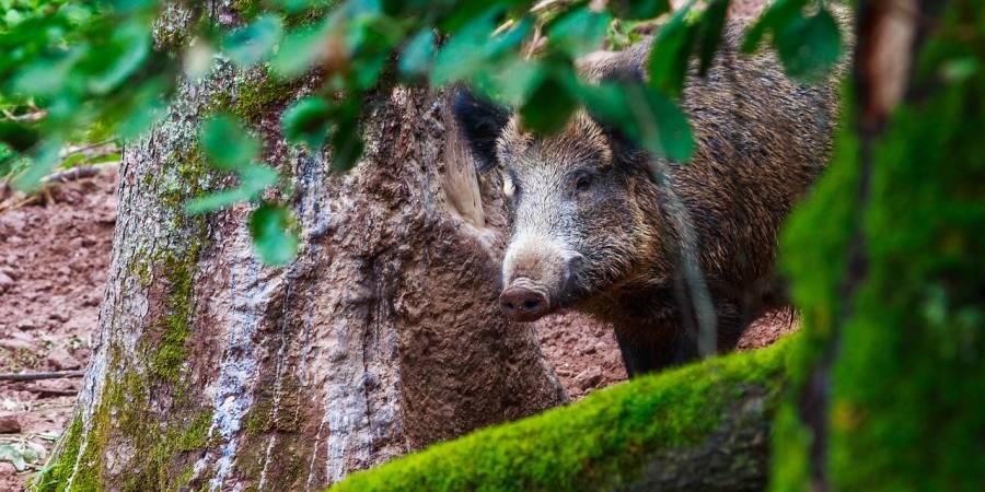 Ein Wildschwein (Symbolbild: Tommy_Rau )