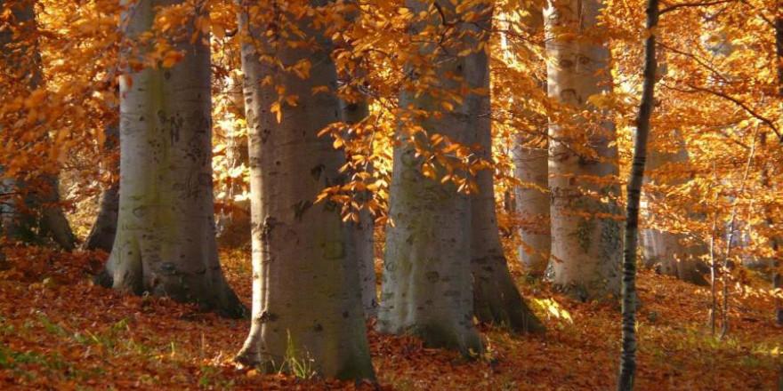 Buchenwald im Herbst (Foto: Hans Braxmeier)