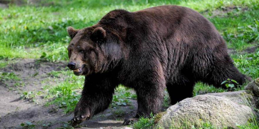 Vater und Sohn wurden von dem Braunbären überrascht (Beispielbild: Mammiya)