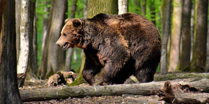 Ein Braunbär läuft durch einen Wald (Symbolbild: István Kopeczny)
