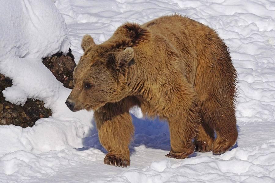 Braunbär im Schnee (Beispielbild: Marcel Langthim)