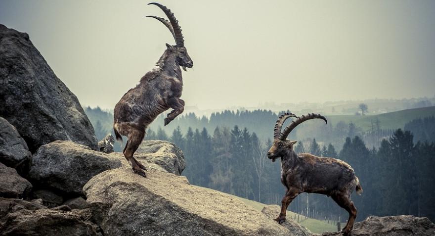 Zwei kämpfende Steinböcke im Gebirge.