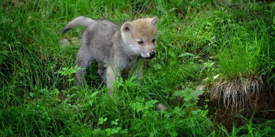 Ein Wolfswelpe (Beispielbild: diapicard)