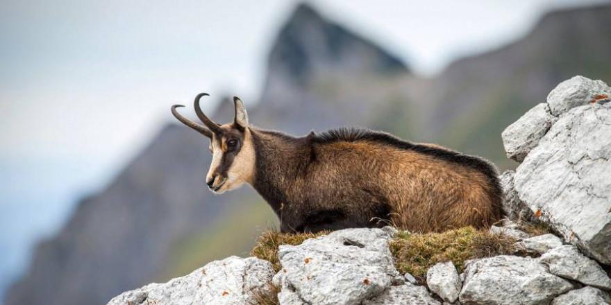 Eine liegende Gämse am Berg (Symbolbild: rottonara)
