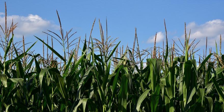 Maisfeld vor blauem Himmel.