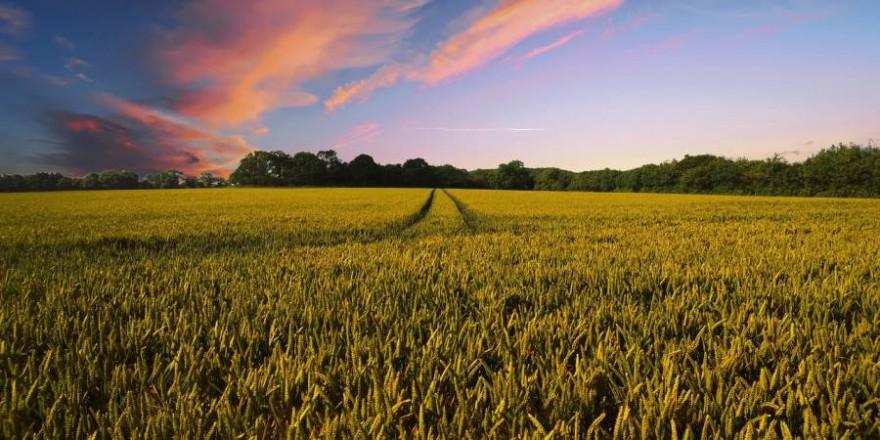 Ein Weizenfeld (Symbolbild: Pete Linforth)