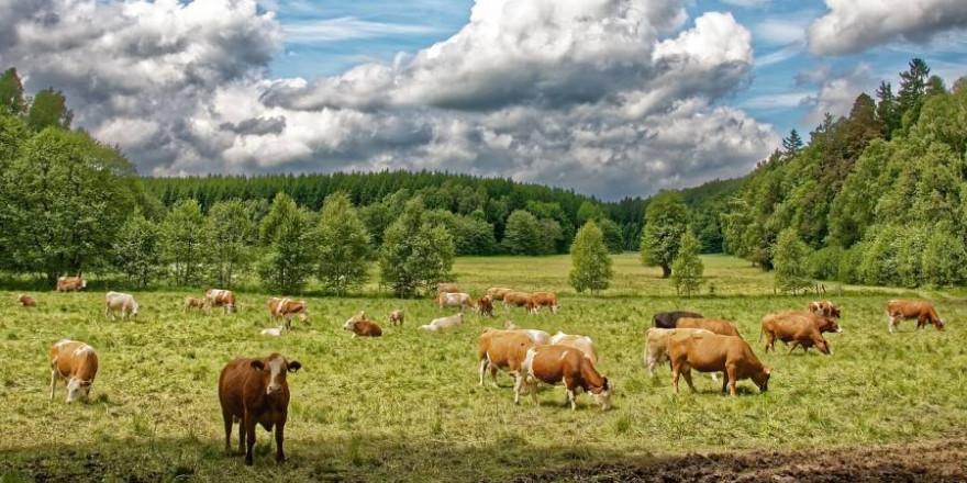 Kuhherde auf einer Weide (Symbolbild: Makalu)