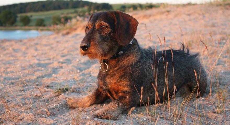 BJV-Präsident Vocke quartierte seinen Dackel auf Verbandskosten in einer Hundepension ein. Symbolbild: stefvet