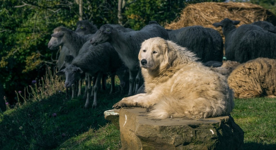Herdenschutzhund bewacht Schafherde