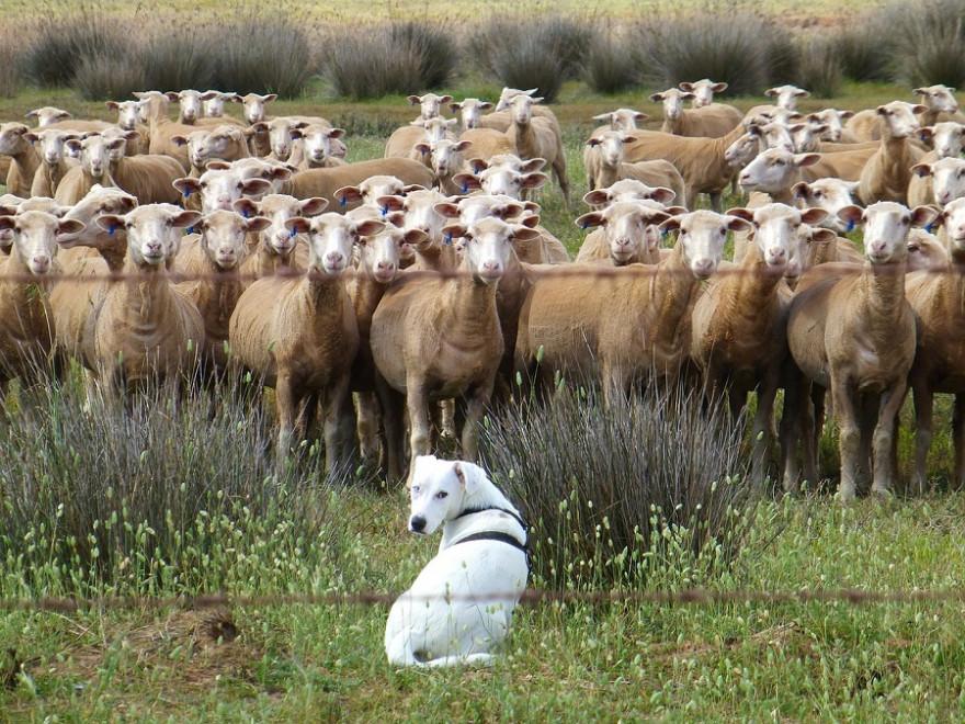 Eine Herde Schafe mit Herdenschutzhund
