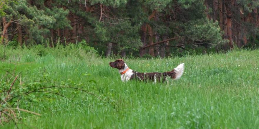 Die Nachsuche des Jagdleiters mit seiner Kleinen Münsterländerhündin auf eine angeschweißte Sau blieb erfolglos (Beispielbild: Kitti Smith)