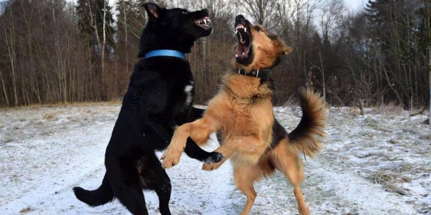Ein herrenloser Hund zeigte sich derart aggressiv, dass ein Polizist ihn erschießen musste, nachdem der Rüde bereits einen anderen Hund totgebissen hatte. (Symbolbild: Lindasay)