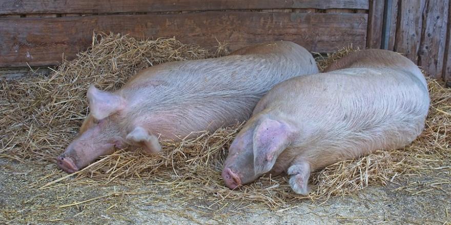 Hausschweine
