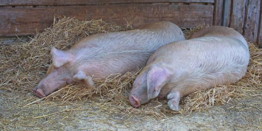 Zwei liegende Hausschweine (Symbolbild: Manfred Antranias Zimmer)
